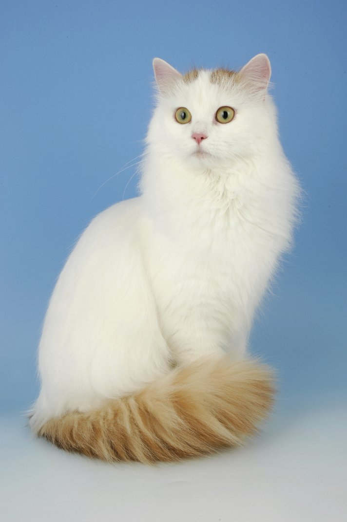 Turkish Van Kittens For Sale